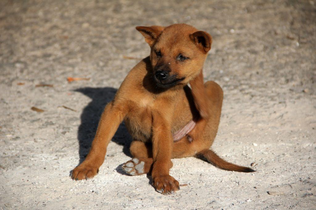 parasites chien puces