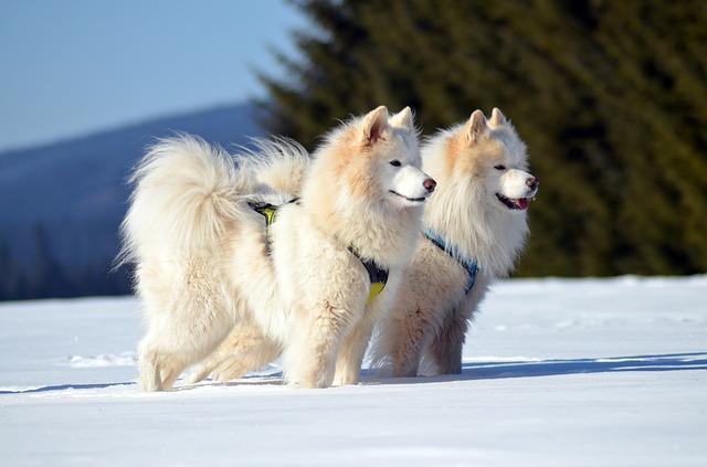samoyede chien cher