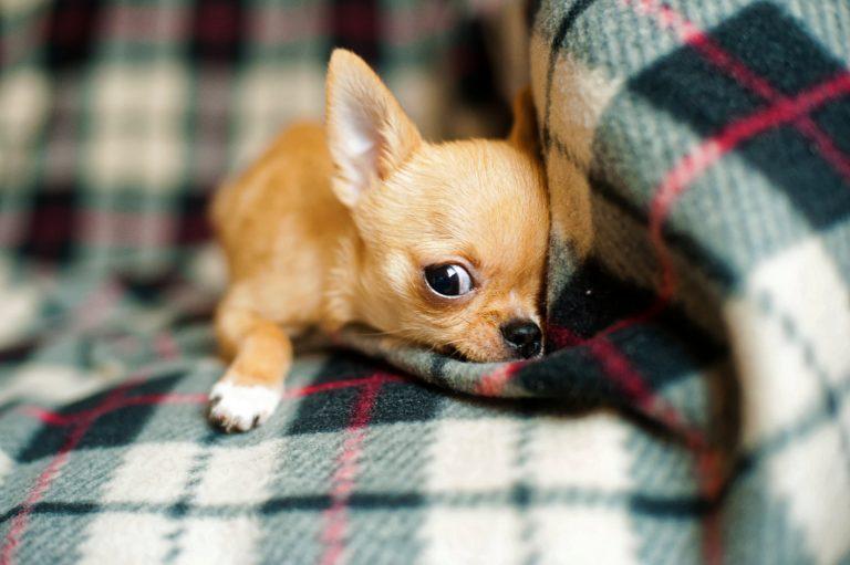 petit chien chihuahua