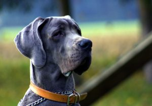 grand chien dogue allemand