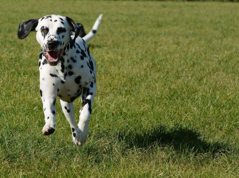 race chien dalmatien