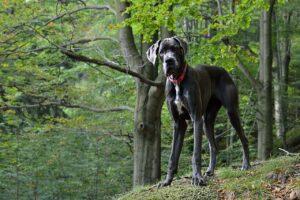 dog allemand